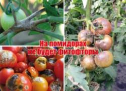Обманываю фитофтору: на моих помидорах ее нет
