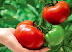 Как понять, чего не хватает помидорам
