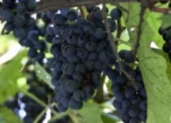 Сетка над виноградом  от непрошеных гостей