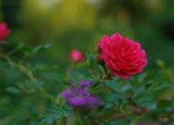 В плодах розы витаминов нет