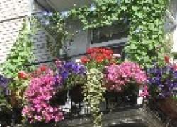 Как вырастить кобею на балконе