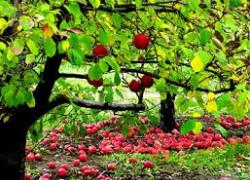 Хорошая нагрузка яблонь и груш