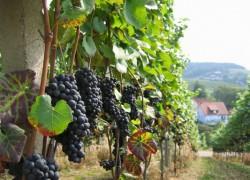 Три главные подкормки винограда