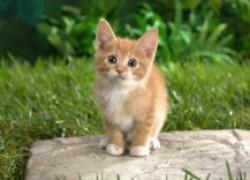У котенка шатаются зубки