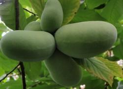 Азимина: гибрид банана и ананаса