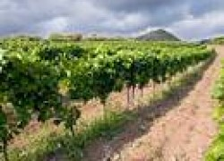 Виноградные пасынки
