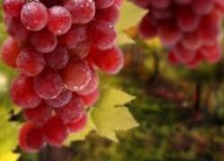 Когда укрытие винограду во вред