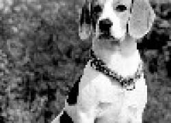 Бигль - собака королей