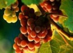 Какой должна быть длина виноградной лозы