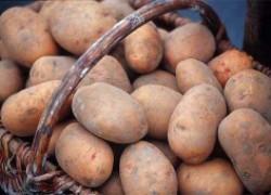 Что обрывать у картофеля: цветки или бутоны?