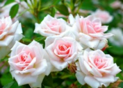 Как спасти розы от болезней