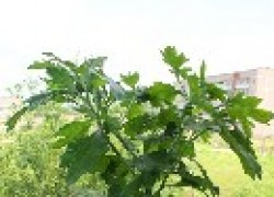Об обрезке хризантем