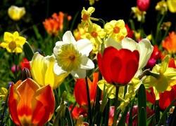 Новые сорта тюльпанов соседям на зависть