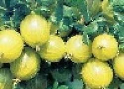 Крыжовник: полосатый мини-арбуз