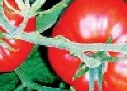 Ускоряем созревание помидоров