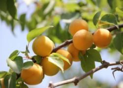 Почему раскорчевывают абрикосы
