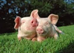 Обгулялась свинья или нет?