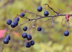 Кизильник черноплодный – зеленый доктор в вашем саду