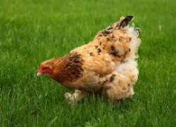 Чем болеют курицы