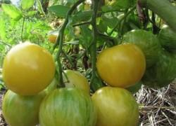 Ускоряем рост помидоров