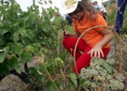 Работы в сентябре на винограднике