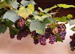 Пять причин неурожая виноградника