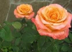 Зимостойкие саженцы роз