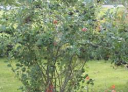 Приводим в порядок посадки ягодных кустарников