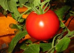 Болезни помидоров и как с ними бороться