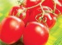 Самые урожайные и плодовитые сорта помидоров