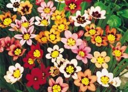 Спараксис – радужный тропиканец в саду
