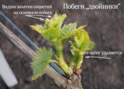 Вредные двойники винограда
