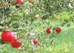 За рубежом урожайность яблонь в 5 раз выше