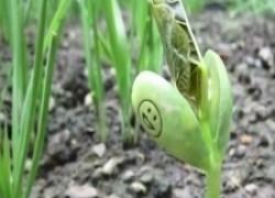 Бобовые секреты, или как получить урожай бобов