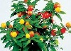 Паслен - кубинская вишня на подоконнике