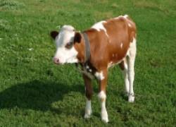 Сколько месяцев поить теленка молоком?