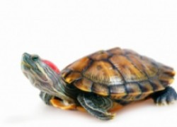 Как контролировать размер черепахи