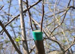 Как нужно ухаживать за прививкой дерева. ВИДЕО