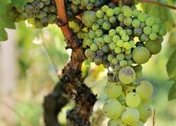 Плохое опыление сортов винограда с женским типом цветка.