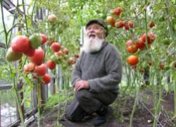 Достались несъедобные помидоры. Что это за поганый сорт?