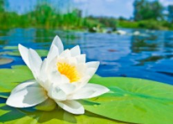 Восстановить мужскую силу помогут препараты из белой водяной лилии