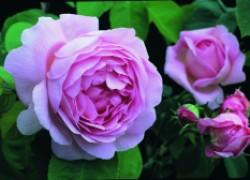 Вопрос о пересадке роз
