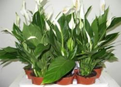 Почему не цветет спатифиллум