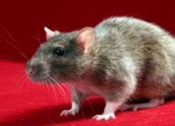 Вот тебе и крыса... размером с собаку