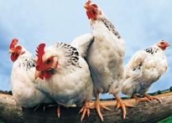 За хороший уход куры платят высокой яйценоскостью