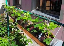 Посмотрите как я выращиваю клубнику в трубе (схема прилагается)
