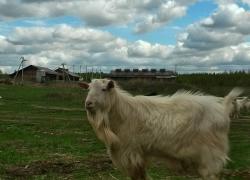 Знакомьтесь, козел Семен!