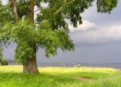 Как извести тополиное дерево со двора