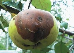 Как бороться с плодовой гнилью
