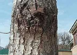 Срочно нужно! Чем болеют мои деревья